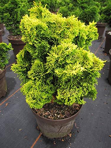 Chamaecyparis obtusa Nana Aurea - gelbe Zwerg-Muschelzypresse