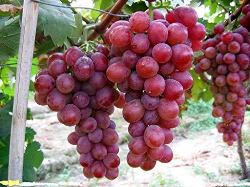 ZLKING 50 Pcs raisins pourpres de fruits Sweet Seeds bio et délicieux fruits confits Plante en pot Fruits semences pour jardin Bonsai