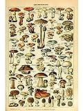 Pilz-Poster von Millot, 21 x 30 cm •