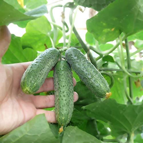 Oce180anYLVUK Gurkensamen, 30 Stück Beutel Gurkensamen Leckere Köstliche Süße Essiggurken Pflanzen Gemüse Gurkensamen Für Zu Hause Gurkensamen