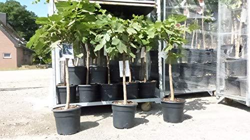 Feigenbaum 110-130 cm hell oder dunkel, winterhart, Ficus Carica, Feige, Obstbaum