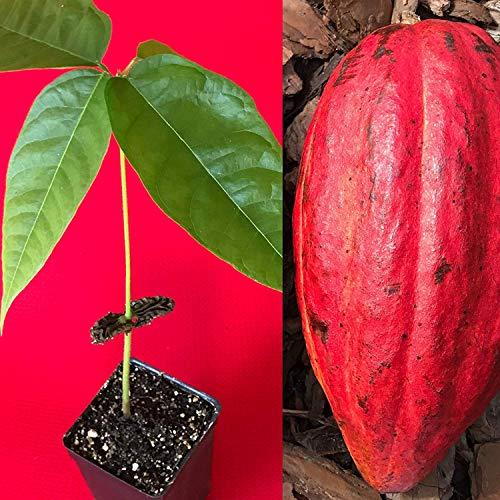 SANHOC Samen-Paket: Red Theobroma Cacao Kakao Chocolatefruit Seed Seed Seed 10-13