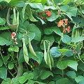 Outsidepride Scarlet Runner Beans