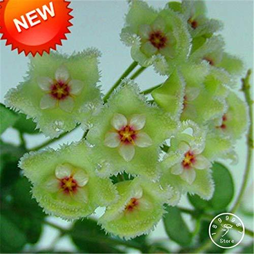 RETS Sale!Fuchsia Ball Orchid Bonsai Hoya Carnosa Plantas Potted Orchid Garden Plants 100 Pcs/Pack, 12