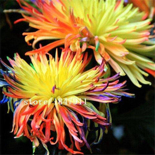 Grande vente Chrysanthème Mix Seed Wildflower Garden Planter Saisons Floraison Graine Combinaisons 100 particules / 1 Professional Pa