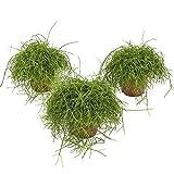 Altezza della pianta (compresa la pentola): 18 cm La consegna contiene 3 piante naturali Dimensioni del piatto Ø: 12 cm Esposizione: Penombra Viene anche chiamato spaghetti cactus, per ovvi motivi.