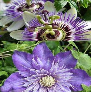 2 Kletterpflanzen: Passionsblume (Passiflora) & Clematis Multi Blue (1,5 Liter Topfen) - Blau. Mehrjährig & Winterhart - ClematisOnline Kletterpflanzen