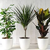 Evergreen Indoor House Plants Collection Clean Air Purifying Scandi...