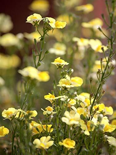 Keland Garten - Rarität Elfenspiegel Nemesia Gelb 50/100pcs Als Kübelpflanze, Blumensamen winterhart mehrjährig im Steingarten Bauerngarten