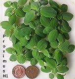 10pistie piccole (Pistia Stratiotes), piante galleggianti per acquario