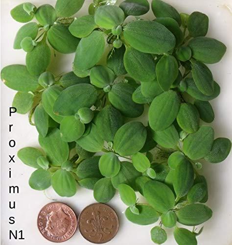 Muschelblume, schwebende Wasserpflanze für Aquarien, klein, 10 Stück