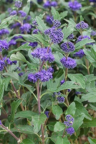 Caryopteris clandonensis 'Heavenly Blue' Bartblume im Topf gewachsen ca. 40-60cm