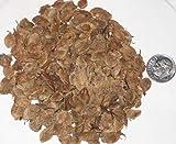 Paquete de semillas del árbol de olmo chino, Ulmus parvifolia Semillas ideal para árboles Bonsai 25