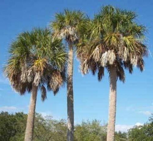 Sabal palmetto Carolina Palmetto Palm 10 graines