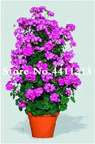 Kalash Neue 50pcs Kletter Geranie Blumensamen für Garten Violet