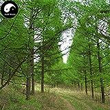 ASTONISH Erstauner SEEDS: Kaufen Larix gmelinii Baumsamen 100pcs Pflanze Lärche Kiefer China Pinaster Luo Ye Lied