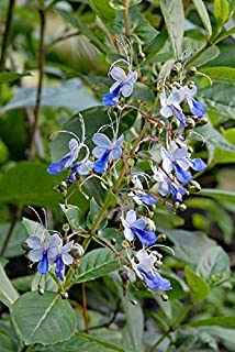 CLERODENDRUM UGANDENSE - Blue Butterfly Bush - Plant - Approx 6-9 INCH