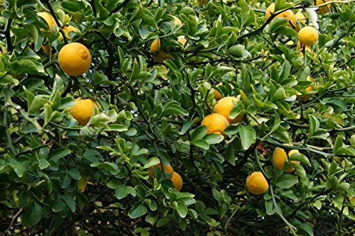 Bitterorange Poncirus trifoliata Pflanze 25-30cm Dreiblättrige Orange Rarität