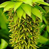 Pineapple Lily