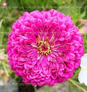 50PCS Garden Bonsai Graines Zinnia Multicolor Chrysanthème Graines Graines de fleurs belles plantes ornementales culture facile 11