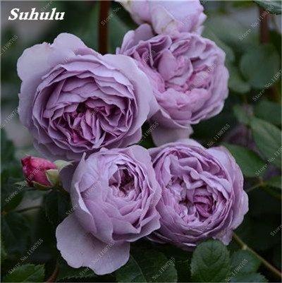 Mixed Seeds Rose, 200 Pcs Rare Bonsai Fleurs Rose, mélanger les couleurs Croissance naturelle Plante en pot pour le jardin Suppies Représentant Amour