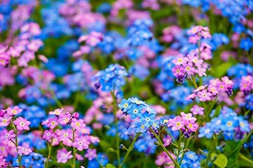 Nomeolvides alpino: rosa y azul, un conjunto de semillas de dos varied