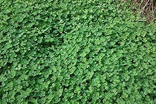 بذور نباتات مائية على شكل عشب ثلاثي الأوراق، حجم كبير 10 جرام - نباتات مائية على شكل عشب ثلاثي الأوراق، حجم كبير 10 جرام - أ.