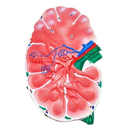 HaoLi Modelo Educativo Modelo de nódulo linfático Modelo anatómico de órgano Humano Modelo de nódulo linfático anatómico médico Modelos de Ciencia de anatomía Humana, Modelos médicos