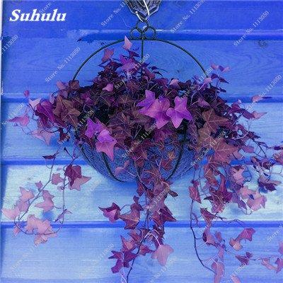 Rare coloré semences de fleurs à feuilles persistantes en rotin Escalade Plante Easy Grow extérieur Bonsai paniers suspendus plantes les plus populaires 50 Pcs 10
