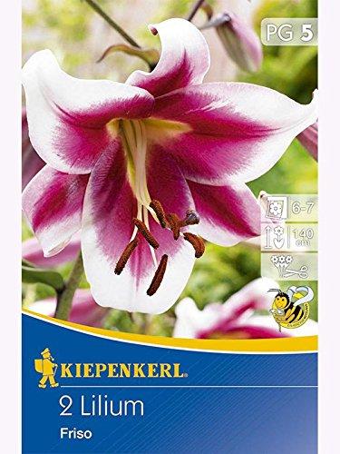 Lilien Lilium Oriental Hybriden Friso purpurrot, weisser Rand, duftend