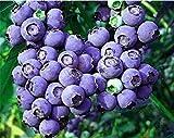 100 pz blueberry bonsai frutta multi colore piante mirtilli bonsai per la casa e il giardino facile da coltivare: 4