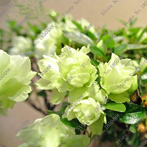 100 pcs / sac Bonsai Rare 23 variétés d'azalées bricolage maison et plantes de jardin avec Sakura graines de fleurs japonais