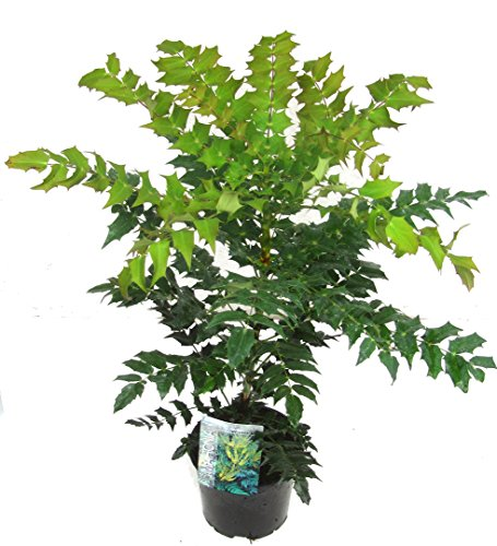 Mahonia media 'Winter Sun'- Immergrüne Mahonie - immergrüner, winterharter Strauch Schattenpflanze