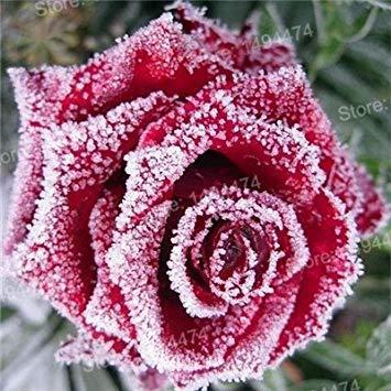 Vistaric 200 pcs Rare Mixte Couleur Rose Graines arc en ciel rose graines Plante vivace fleurs bonsaï pot Maison Jardin Décoration Graines De Fleurs Multicolore
