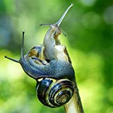 Two (2) Live Land Milk Snail Otala Lactea – Breeder Quarter Sized Live Snails for Aquarium – Snail Pets – Free Calcium for Snail Shells and CareGuide – Free Fast 2-5 Day delivery