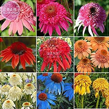 Vista BELLFARM Echinacea Gemischte 9 Farben Große Blüten Mehrjährige Blumensamen, 200 Samen, Profi-Packung, Erbstück-Hybrid-Blütenhütchen