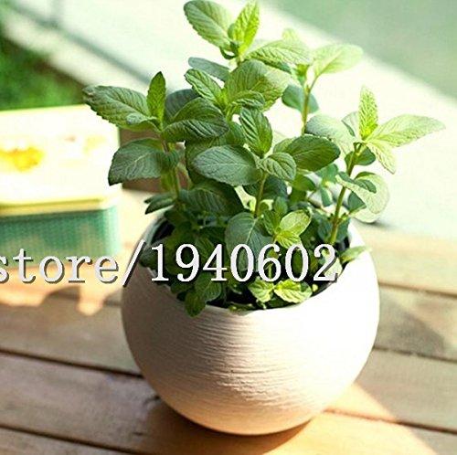 Vente en gros Plants de menthe verte Graines de légumes Graines de plants de menthe poivrée pour balcon (Environ 100 pièces/Lot)