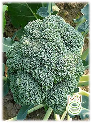 Repollo Ramé Brócoli Calabrese Brassica oleracea botrytis cimosa Semillas Semillas Jardín de vegetales Jardín de vegetales