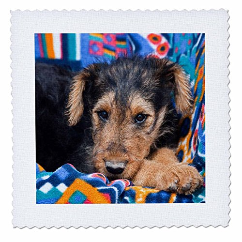 3dRose qs_93009_3 an Airedale Puppy Dog Lying Down-US32 ZMU0005-Zandria Muench Beraldo-Quilt Square, 8 by 8-Inch