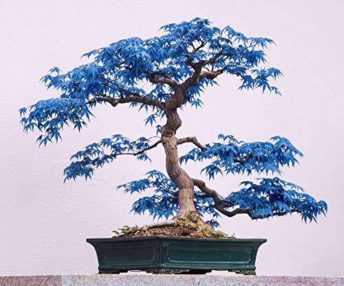 Rare 10 Pcs Blue Maple Seeds Bonsai Garden Indoor Decoration Ornamental Plant