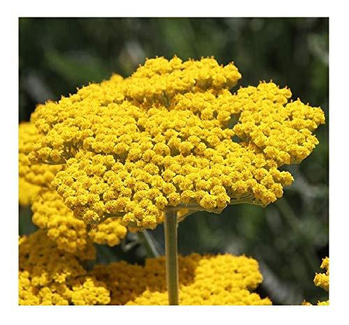 David's Garden Seeds Flower Achillea Yarrow Gold SL4276 (Yellow) 500 Non-GMO, Heirloom Seeds