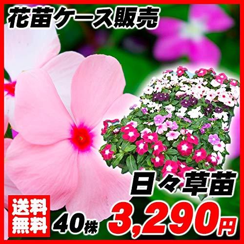 国華園 花苗 日々草苗 ケース販売 1ケース40株入り /21年春商品