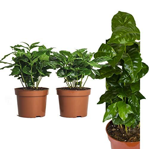 Echte Kaffeepflanze coffea arabica ca. 30cm mit Übertopf- pflegeleichter Kaffeestrauch zum selber wachsen lassen, immergrüne Zimmerpflanze, Topfpflanze, Kaffee für Liebhaber (2, Kaffeepflanzen)
