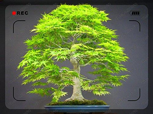 50pcs Canada feuille Colorful Graines Érable Mini plantes bonsaï plante de jardin de la maison de bricolage peut changer du vert au rouge