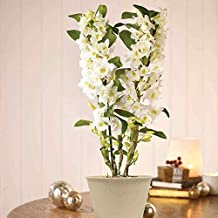 Rainbow Flowers Scented Dendrobium Orchid (Orchid)