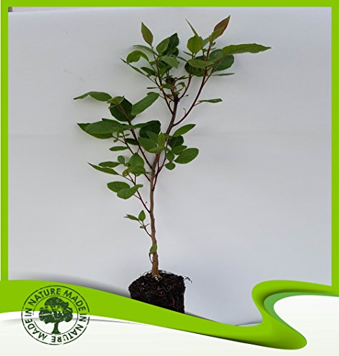 Pistazie Terebinthus (Terpentinbaum) Pflanze