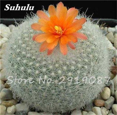 100 Pcs vrai Cactus Seeds, Mini Cactus, Figuier, japonais Succulentes Bonsai Graines de fleurs, Plante en pot pour jardin 7