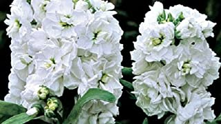 50+ Evening Scented Stock Cinderella White Flower Seeds / Highly Fragrant Long Lasting Annual
