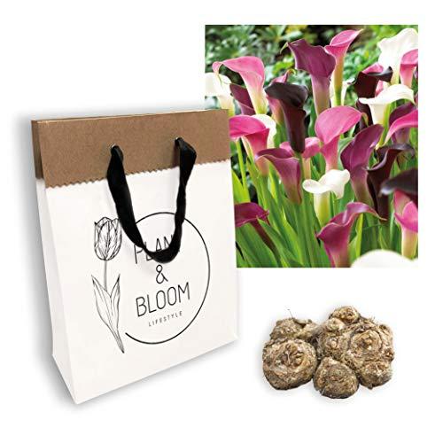 Plant & Bloom Callazwiebeln aus Holland, 3 Zwiebeln - Leicht zu züchten - Für das ganze Jahr in Ihrem Garten - Holländische Qualität - Weiß-Rosa-Lila Blüten - Kollektion Rosa Überfluss