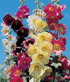 Hollyhock Seeds for Planting, Mixed Colors - 250+ Seeds - Long Blooming Period in All Zones